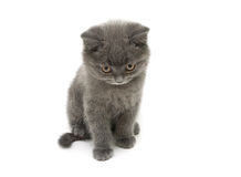 Razza diritta scozzese del piccolo gattino isolata sul backgrou bianco Immagini Stock Libere da Diritti