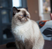 Razza esotica del gatto Immagini Stock