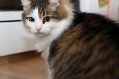 Razza Forest Cat norvegese immagini stock libere da diritti