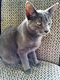 Razza grigia del gatto del korat del gatto Fotografia Stock