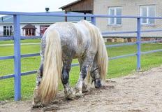 Razza grigia Percheron del vestito del bello stallone Fotografia Stock