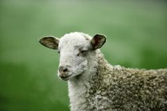Razza irsuta bianca delle pecore della razza di Latxa Immagini Stock Libere da Diritti