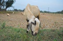 Razza locale della capra Fotografia Stock Libera da Diritti