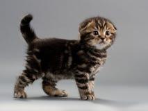 Razza maschio del popolare dello scottish del gattino Fotografia Stock