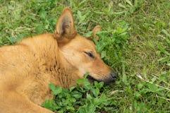 Razza mista, cane dai capelli rossi che ha erba di resto in primavera Immagine Stock Libera da Diritti