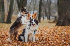 Razza obbediente border collie del cane Ritratto, autunno, natura, trucchi, preparantesi Immagine Stock Libera da Diritti