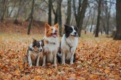 Razza obbediente border collie del cane Ritratto, autunno, natura, trucchi, preparantesi Immagini Stock Libere da Diritti