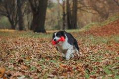 Razza obbediente border collie del cane Ritratto, autunno, natura, trucchi, preparantesi Fotografie Stock
