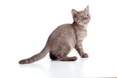 Razza pura britannici a strisce del piccolo gattino Immagini Stock Libere da Diritti