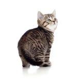 Razza pura britannici a strisce del piccolo gattino isolati Fotografia Stock