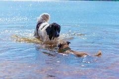 Razza pura del cane di Landseer che gioca con lo stafford immagine stock