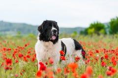 Razza pura del cane di Landseer in fiore del campo del papavero immagine stock libera da diritti
