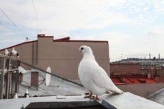 Razza rara della colomba di bianco Immagine Stock Libera da Diritti