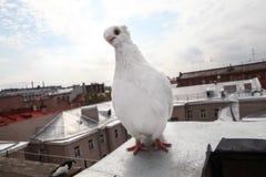 Razza rara della colomba di bianco Immagine Stock