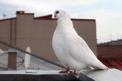 Razza rara della colomba di bianco Fotografie Stock