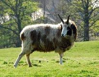 Razza rara delle pecore Fotografia Stock Libera da Diritti