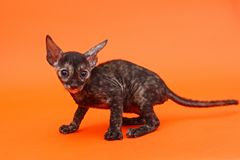 Razza Rex della Cornovaglia del gattino Fotografia Stock Libera da Diritti