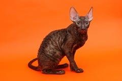 Razza Rex della Cornovaglia del gattino Immagini Stock Libere da Diritti