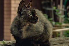Razza Rex della Cornovaglia, tartarughe del gatto di colore che si siedono e che guardano immagine stock libera da diritti