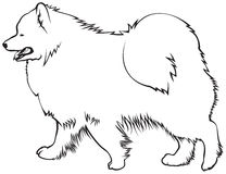 Razza samoieda del cane Fotografia Stock Libera da Diritti