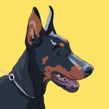 Razza seria del pinscher del doberman del cane del primo piano di vettore Fotografia Stock
