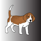 Razza Snoopy del cane da lepre del cane della lana di marrone del cane Immagine Stock Libera da Diritti