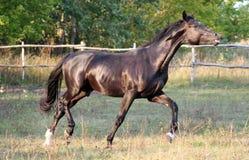 Razza ucraina del cavallo Immagine Stock Libera da Diritti