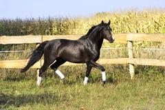 Razza ucraina del cavallo dello stallone Fotografia Stock Libera da Diritti