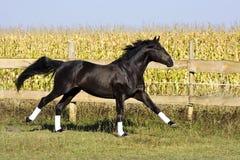Razza ucraina del cavallo dello stallone Immagini Stock