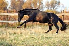Razza ucraina del cavallo dello stallone Fotografia Stock