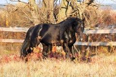 Razza ucraina del cavallo dello stallone Fotografie Stock Libere da Diritti