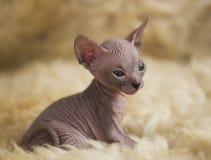 Razze allegre allegre del gatto della Sfinge Fuoco selettivo immagine stock libera da diritti
