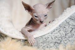 Razze allegre allegre del gatto della Sfinge Fuoco selettivo fotografie stock