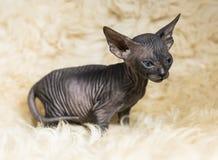 Razze allegre allegre del gatto della Sfinge Fuoco selettivo fotografia stock