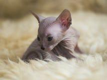 Razze allegre allegre del gatto della Sfinge Fuoco selettivo immagini stock libere da diritti
