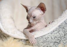 Razze allegre allegre del gatto della Sfinge Fuoco selettivo fotografia stock libera da diritti