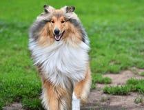 Razze del cane delle collie Fotografia Stock