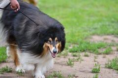 Razze del cane delle collie Fotografia Stock Libera da Diritti