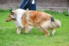 Razze del cane delle collie Fotografie Stock Libere da Diritti