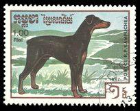 Razze del cane, pinscher di Dobermann Fotografia Stock