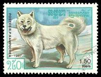 Razze del cane, cane samoiedo Fotografia Stock