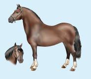 Razze del cavallino: Montagna di Lingua gallese Fotografia Stock Libera da Diritti