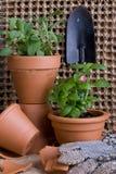 Rb fresco das ervas em uns potenciômetros do Terracotta Imagens de Stock Royalty Free