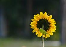 Rückseite von Sun-Blume Stockfotos