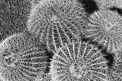 RBG 4ball kaktusów wierzchołek Obrazy Royalty Free