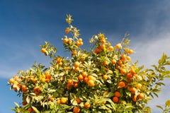 Árbol anaranjado - sinensis de la fruta cítrica Imagen de archivo libre de regalías