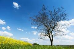 Árbol con el campo del canola Imagen de archivo libre de regalías