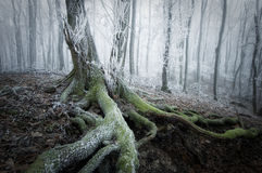 Árbol con el musgo en un bosque congelado en invierno Fotografía de archivo libre de regalías