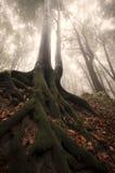 Árbol con las raíces grandes en bosque del cuento de hadas Fotos de archivo