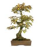 Árbol coreano de los bonsais del carpe, turczaninowii del Carpinus, aislado Foto de archivo libre de regalías